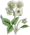 08_wildflower_white_graphicsfairy_5in.pn