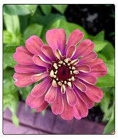 Z pink beauty.jpg