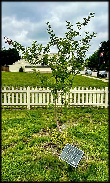 Johnny Appleseed Tree at D.D. Collins House in Collinsville, Illinois 2021