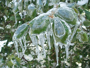 ice-covered-holly-bush-591132_1280.jpg
