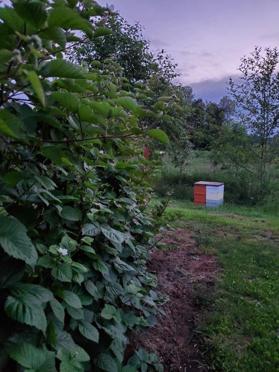 Hives in the blackberries