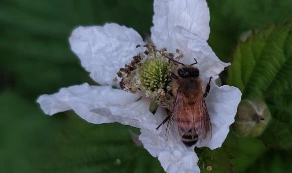 Blackberry pollinator