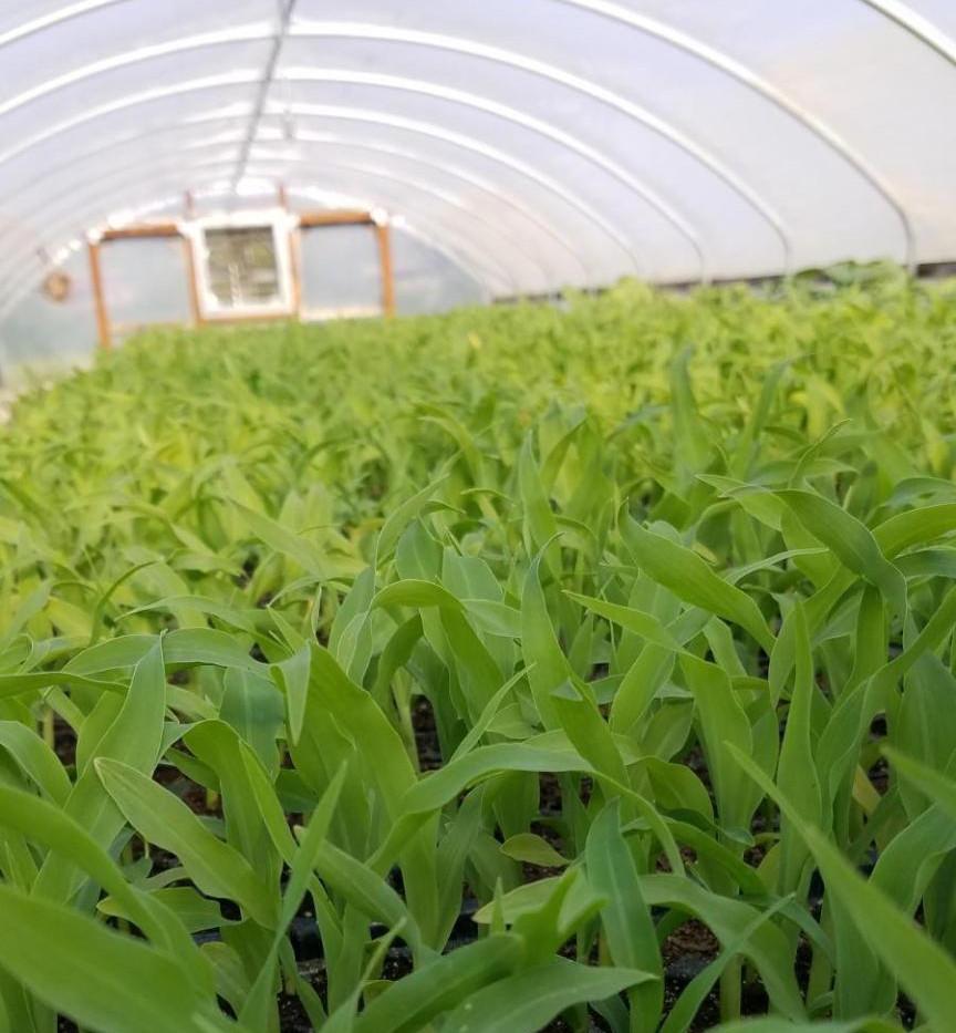 Sweet corn in the greenhouse