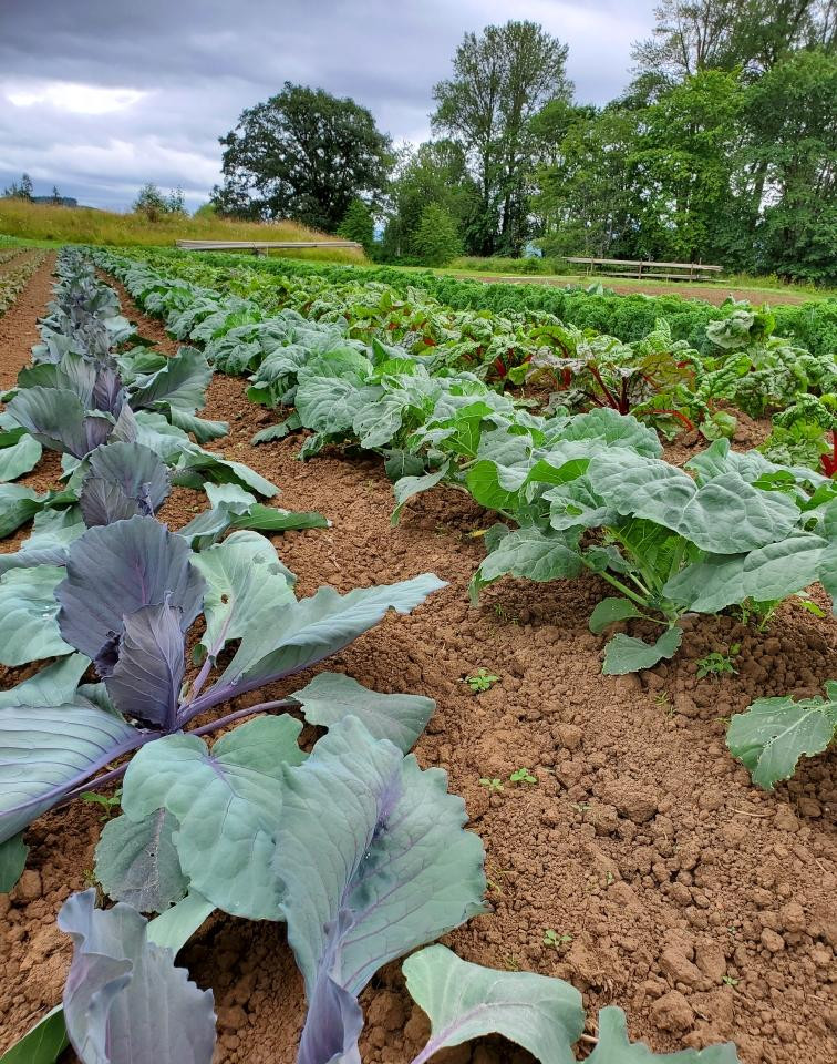 Cabbage and chard