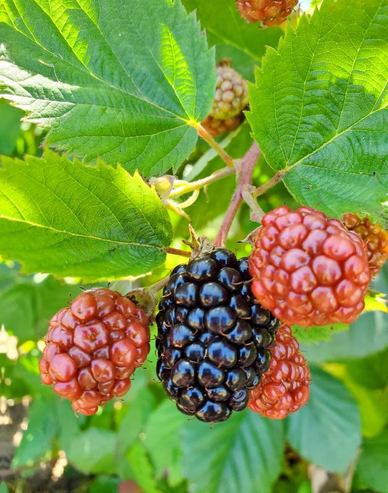 First blackberries
