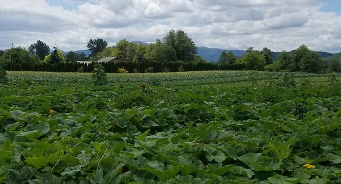 Pumpkin patch in July
