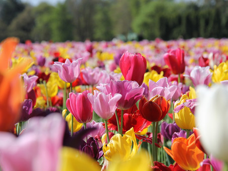 A Visit To A Tulip Farms In The Netherlands This Mother's Day