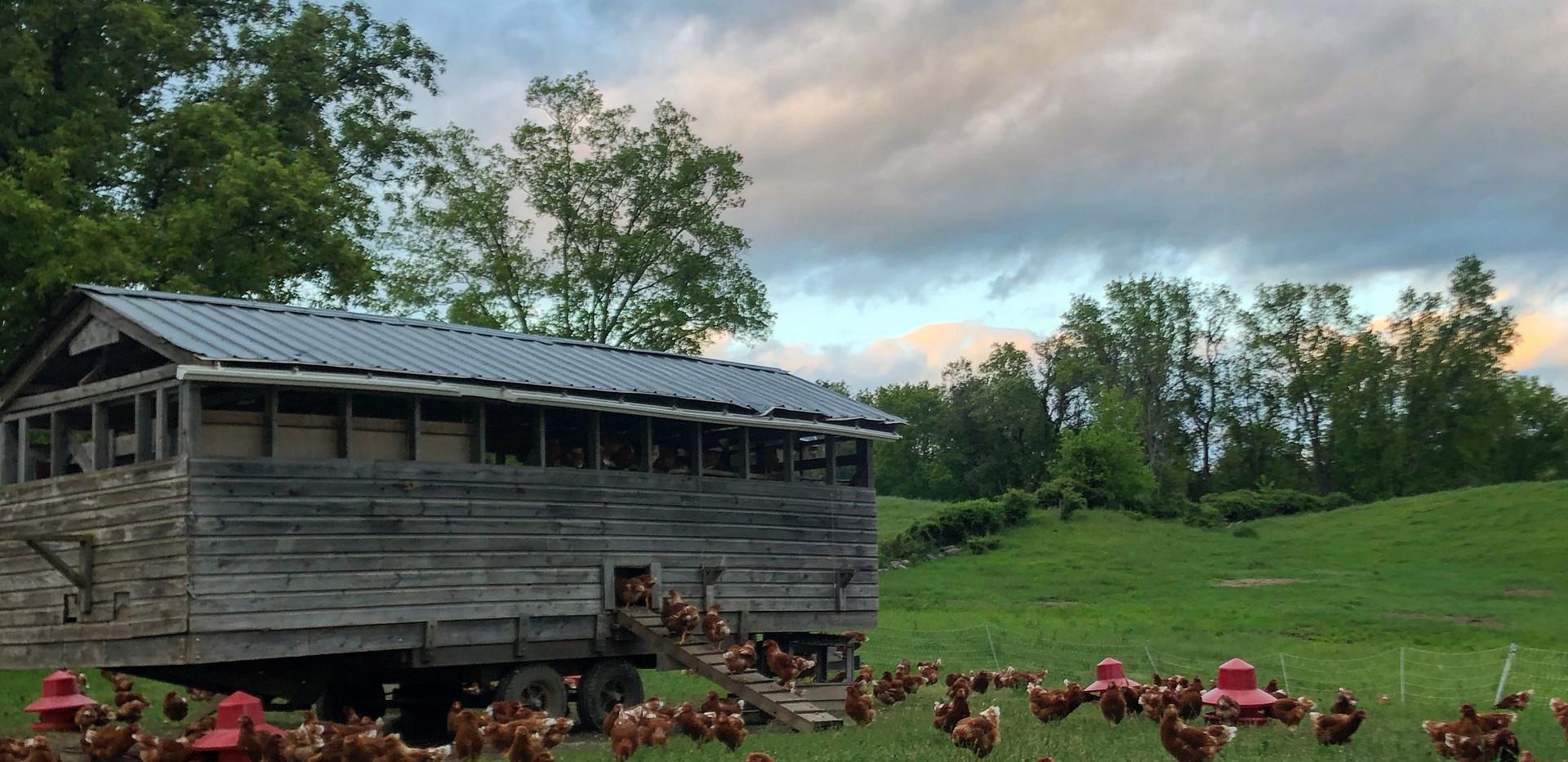 Pasture-Raised Chickens, Pasture-Raised Turkeys & Pasture-Raised Eggs