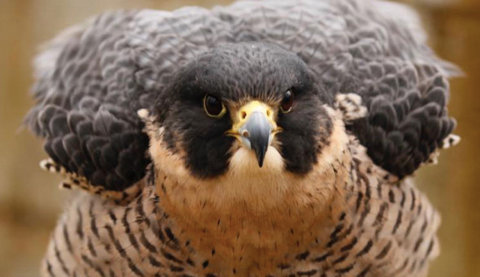 New Hampshire School of Falconry