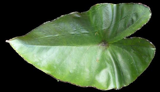kisspng-leaf-thumbnail-information-leaf-5ad75171969678.8419664415240605296168.png