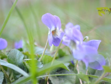 També floreixen les Violes (viola riviniana)