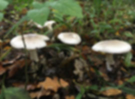 Clouded Agaric - Clitocybe nebularis