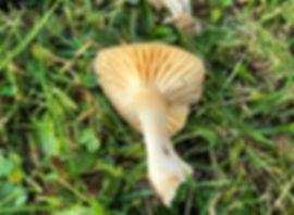 Meadow Waxcap - Cuphophyllus pratensis - gills