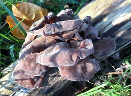 Wood Ears or Jelly Ears, Auricularia-auricula judae, an edible mushroom with an interesting texture