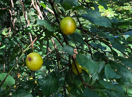 Bullace or Greengage - Prunus insititia - fruit