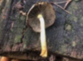 Sulphur Tuft - Hypholoma fasiculare