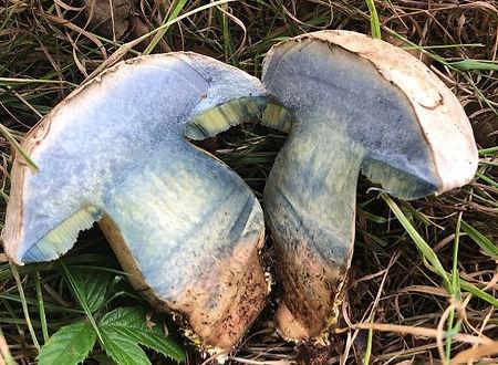Rooting Bolete - Caloboletus radicans - bruising blue