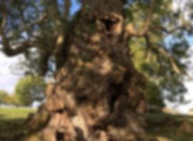 Englis Oak - Quercus robur