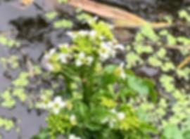 Watercress - Nasurtium officinale - flower