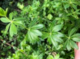Sweet Woodruff - Galium odoratum - leaves