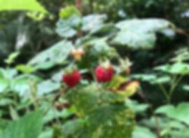 Raspberry - Rubus idaeus - fruit