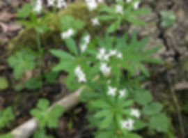 Sweet Woodruff found on a West Midlands foraging course