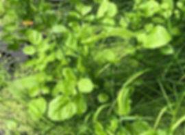 Watercress - Nasurtium officinale