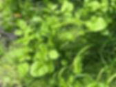 Watercress - Nasturtium officinale