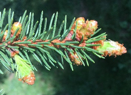 Spruce - Picea spp