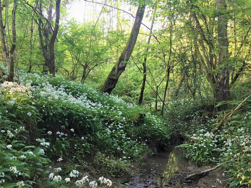 Wild Garlic likes to grow in damp dappled shade. It is a forager's favourite