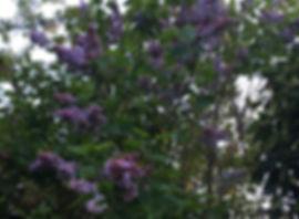 Lilac - Syringa vulgaris