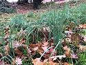 Crow Garlic habitat