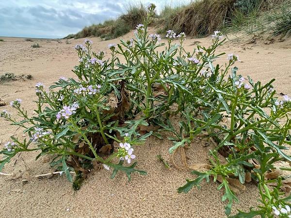 Sea Rocket (Cakile maritima) plant structure