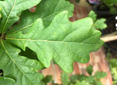 Englis Oak - Quercus robur - leaf