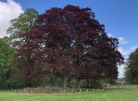 Common Beech Copper - Fagus sylvatica f. purpurea