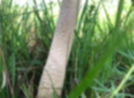 Parasol - Macrolepiota procera - snakeskin pattern