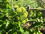 Alexanders on a Norfolk foragng course