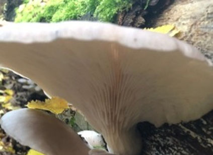 Oyster Mushroom gills running decurrently down the stem
