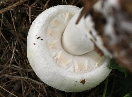 Horse Mushroom cogwheel - Agaricus arvensis