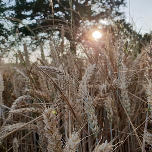 Folklore: The sabbat of Lammas, the celebration of the grain