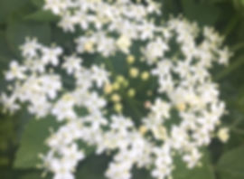 Elderflower from a foraging course walk in Warwickshire