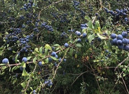 Damson - Prunus insititia