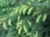 Spruce - Picea spp
