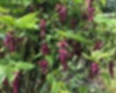 Pheasant Berry - Leycesteria formosa