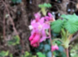 Flowering Currant - Ribes sanguineum