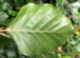 Underside of leaf of Common Beech - Fagus sylvatica