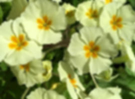 Foraging for Primrose - Primula vulgaris