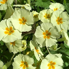 Primrose - Primula vulgaris - an edible herald of springtime