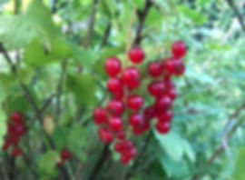 Redcurrant - Ribes rubrum