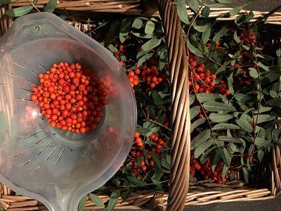 Rowan berries being removed from their stems ready for cooking